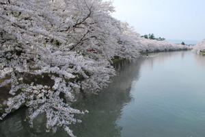Hirosaki_2012_sakura_036