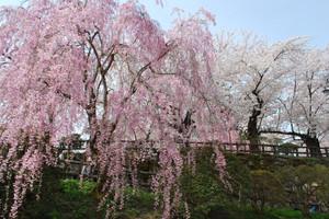 Hirosaki_2012_sakura_042